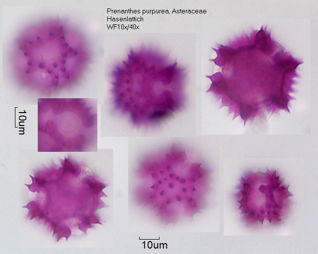 Pollen von Prenanthes purpurea