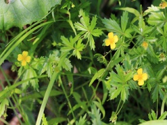 VPotentilla erecta.JPG