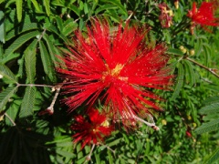 VCalliandra tweedii.JPG