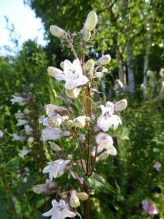 VPenstemon digitalis.JPG